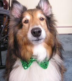 St patricks shelties - Google Search