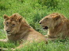 Leones en el Parque