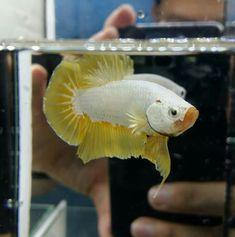 Aquarium Ideas, Aquarium Fish, Betta, Yellow Dragon, Freshwater Fish, Aquariums, Fresh Water, September, Tanked Aquariums