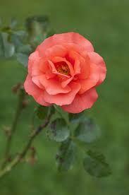 pink rose - Google Search