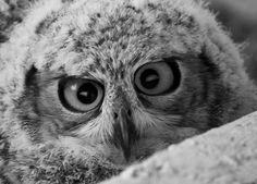 Crazy eyes watch out .goodness id run from this owl. Beautiful Owl, Animals Beautiful, Gorgeous Eyes, Owl Bird, Pet Birds, Cute Baby Animals, Funny Animals, Funny Birds, Wild Animals