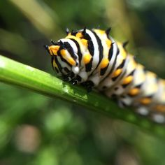 Black Swallowtail Caterpillar close up front