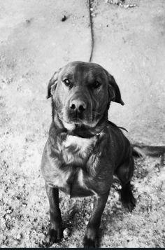 Labrador Retriever, Dogs, Animals, Labrador Retrievers, Animales, Animaux, Doggies, Labrador, Animal