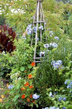 Laurrie's Garden Diary : Trailing Nasturtiums