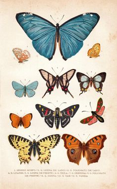 1891 Butterflies Antique Chromolithograph Entomology by carambas Vintage Butterfly, Butterfly Art, Butterfly Colors, Butterfly Sketch, Art And Illustration, Antique Prints, Vintage Prints, Illustration Botanique, Beautiful Butterflies