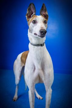 SWEET PEACH is an adoptable Greyhound searching for a forever family near Augusta, ME. Use Petfinder to find adoptable pets in your area.