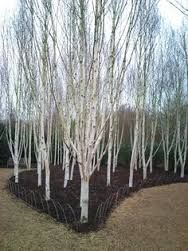 Image result for betula utilis jermyns pictures