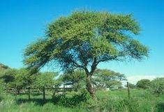 acacia tortilis - Google Search Acacia, Trees To Plant, Google Search, Plants, Tree Planting, Plant, Planets