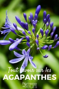 Agapanthe : planter, cultiver et entretenir Find out everything you need to know about Agapanthus an Agapanthus Plant, Bougainvillea, Plantas Bonsai, Micro Photography, Garden Online, Gardening Magazines, Fake Plants, Cactus Y Suculentas, Garden Care