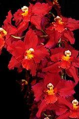 Odontioda Glyndebourne Cherubino  × Redshine  - orchid