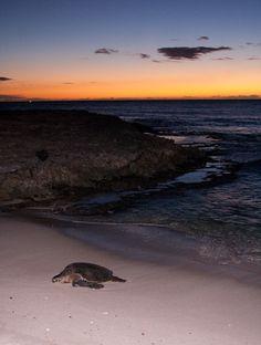 A female green sea turtle (honu) comes ashore to lay its eggs...