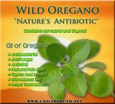"""Wild Oregano """"Nature's Antibiotic"""" (& antiviral, antifungal, natural painkiller -great for toothaches - fights bad breath) Need this right now, just had a tooth removed. Not happy Jan :) Oregano Oil Benefits, Bad Breath, Healing Herbs, Medicinal Plants, Herbal Remedies, Natural Remedies, Holistic Remedies, Health Remedies, Natural Medicine"""