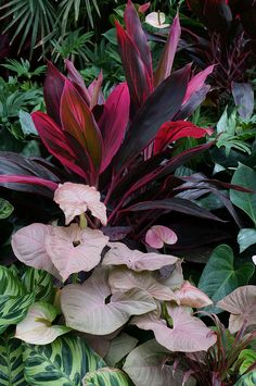 Syngonium 'Neon Robusta', Cordyline fruticosa