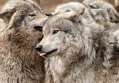 ☆ Wolf Pack at Play :¦: By Bill Maynard ☆