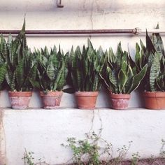 I want to become a crazy snake plant lady. <-- I concur with this caption Back Gardens, Outdoor Gardens, Cactus, Plants Are Friends, Snake Plant, Green Life, Cacti And Succulents, Garden Pots, Houseplants