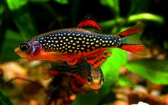 Galaxy-Rasbora, so pretty!