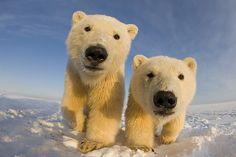 A pair of curious young polar bears play together in Bernard Spit, Alaska. These in-yer-face polar bear pictures are the closest most of us get to one of… Beautiful Creatures, Animals Beautiful, Cute Animals, Nature Pictures, Animal Pictures, Random Pictures, Llamas Animal, Arctic Animals, Wild Animals