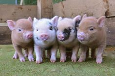 micro-mini-pigs-for-sale-petpiggies <--- for sale? They look like BFFs Baby Pigs, Pet Pigs, Guinea Pigs, Cute Baby Animals, Funny Animals, Farm Animals, Nature Animals, Mini Pigs For Sale, Miniature Pigs For Sale