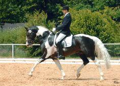 Samaii  Sambertino x Elite Berolina  Oldenburg, Stallion