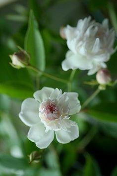 Rosa anemoneflora