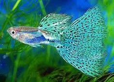 Resultado de imagen de peces tropicales