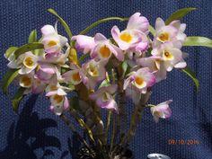 . Softcane Dendrobium - Polka x Gold Star.  th...