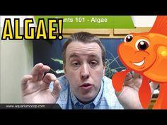 Aquarium Algae Problems, Algae Eaters - Aquarium Plants 101 - YouTube