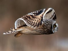 "Short-eared Owl (Asio flammeus), found on all continents except Antarctica and Australia. Photo by Flickr member ""Nature and People,"" Ted."