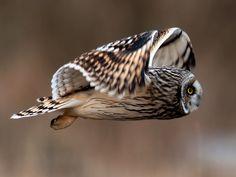 Short-eared owl. (http://www.flickr.com/photos/tardley/6809782419/)
