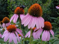 You can find Texas native plants at our chapter plant sales, at arboretums and botanical gardens, and at many wholesale and retail nurseries. Plantas Do Texas, Purple Flowers, Wild Flowers, Desert Flowers, Texas Plants, Texas Gardening, Organic Gardening, Seed Bank, Herbaceous Perennials