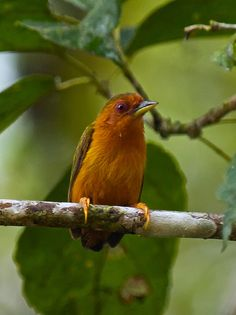 Rufous Piculet Sasia abnormis - Google Search