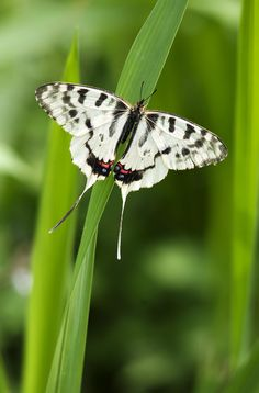 jewel in the grass  Dragon Swallowtail butterfly