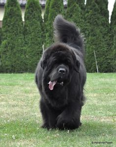 anyone who has a newf knows.the tongue out, the newfie pace, the waddle of their bum:) Newfoundland dogs Giant Dogs, Big Dogs, Large Dogs, I Love Dogs, Cute Puppies, Cute Dogs, Dogs And Puppies, Doggies, Akita