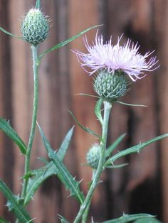 White thistle flowers plants gardening outdoors pinterest thistle mightylinksfo