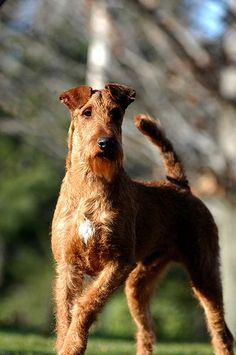 A very good looking Irish Terrier. Nice chest, excellent ears, tail is not too long, and he's stepping straight. Toy Fox Terriers, Wire Fox Terrier, Airedale Terrier, Terrier Dogs, Charles Darwin, Dog Breeds List, Irish Terrier, Group Of Dogs, Terrier Breeds