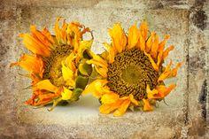 Dried sunflowers No 413