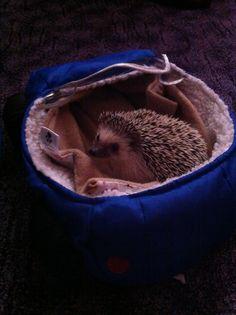 Wilson in his car - African Pygmy hedgehog