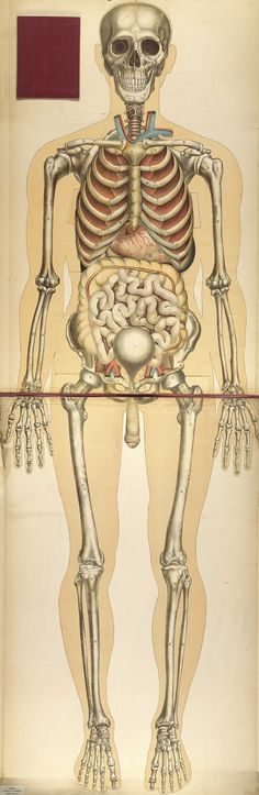 Chromolithograph showing the skeleton and internal organs of the human body, including the liver, intestines, lungs, and bladder, from Julien Bouglé's Le corps humain et grandeur naturelle, 1899.
