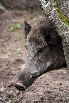 Wild Boar, Białowieża