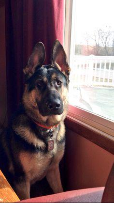 German Shepherd #dog