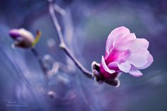 .:Sweet Magnolia:. by *RHCheng Photography / Animals, Plants & Nature / Flowers, Trees & Plants©2011-2013 *RHCheng