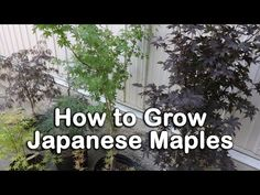 All About Japanese Maples - Weeping and Upright Varieties, Heights, Leaf Color Information - YouTube
