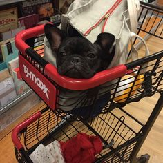 """""""Shopping is Overrated"""", Bored French Bulldog Puppy."""