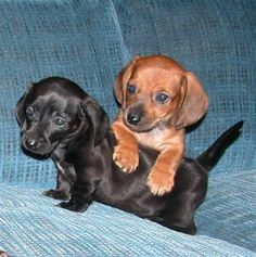 mini dachshunds. These must be mine!