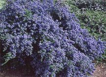 Ceanothus 'Blue Jeans' - Holly Leaf Mountain Lilac