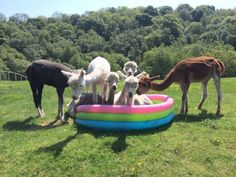 And this alpaca pool party. | 19 Delightful Animals Cooling Off In Paddling Pools