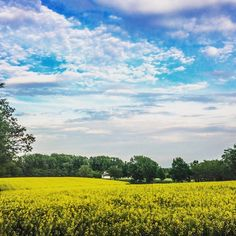 canola field in Burgenland  #iAustria #Burgenland #spring #canola #flower #trees #spring