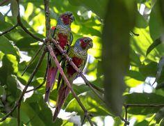 Foto tiriba-de-pfrimer (Pyrrhura pfrimeri) por Roseanne Almeida | Wiki Aves - A Enciclopédia das Aves do Brasil