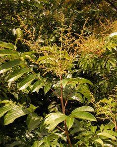 Pau Pombo - Tapirira guianensis - Semente - A florada preferida da Uruçu Scutellaris , grande produtora de Nectar, seu perfume atrai uruçu a quilômetros, sua florada causa um grande frisson nas colônias, enchem melgueiras com um saboroso mel, seu tronco serve de abrigo para colônias, uma planta essencial para pastos meliponiculas.