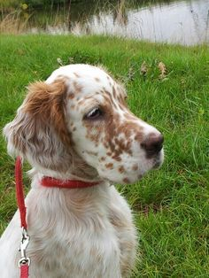 Charley - our English Setter pup English Setter Puppies, Irish English, Gordon Setter, Cut Animals, Different Dogs, Dobermans, Dog Rules, Irish Setter, Dog Boarding